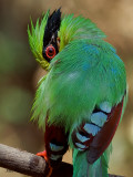 Common Green Magpie - profile back view