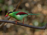 Common Green Magpie - perch