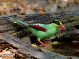 Common Green Magpie - at bath