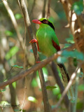 Common Green Magpie - hide