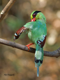 Common Green Magpie - preening