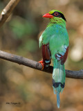 Common Green Magpie - back view