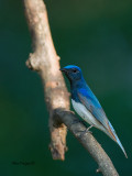 Blue-and-White Flycatcher - male - vertical