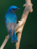 Blue-and-White Flycatcher - male - looking back