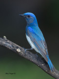 Blue-and-White Flycatcher - male - profile