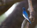 Blue-and-White Flycatcher - male - alert