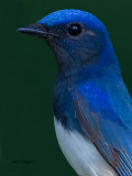Blue-and-White Flycatcher - male - portrait