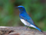 Blue-and-White Flycatcher - male - on the rock