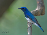 Blue-and-White Flycatcher - male