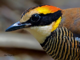 Banded Pitta - female - 2011 -portrait