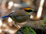 Banded Pitta - female - 2011 - on the rocks