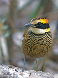 Banded Pitta - female - 2011 - alert