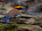 Banded Pitta - female - 2011 - looking back