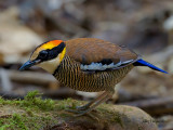 Banded Pitta - female - 2011