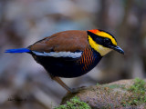 Banded Pitta - male - 2011