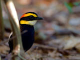 Banded Pitta - male - 2011 - hiding