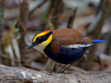 Banded Pitta - male - 2011 - on a log