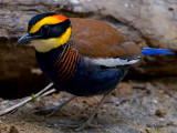 Banded Pitta - male - 2011 - on the ground