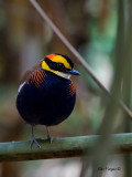 Banded Pitta - male - 2011 - alert