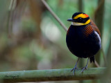 Banded Pitta - male - 2011 - perched