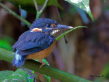 Blue-banded Kingfisher - female