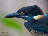 Blue-banded Kingfisher - male - portrait