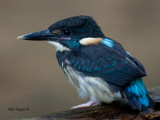 Blue-banded Kingfisher - male