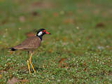 Red-wattled Lapwing - 2011 - 2