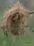 Asian Golden Weaver - female - 2011 - 2
