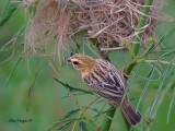Asian Golden Weaver - female - 2011