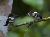 Green Kingfisher 2010 - female & Chick