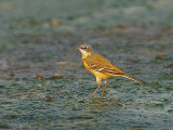 Yellow Wagtail -- sp 353