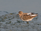 Rufous-necked Stint - breed - 2011
