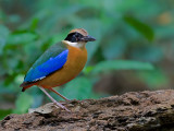 Blue-winged Pitta - & fly - 2011