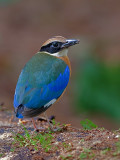 Blue-winged Pitta - back view - 2011