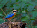 Blue-winged Pitta - further out - 2011
