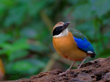 Blue-winged Pitta - looking up -2011