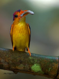 Black-backed Dwarf Kingfisher - 2011 - front view