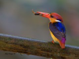 Black-backed Kingfisher  -- sp 226