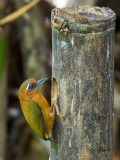 White-browed Piculet - female 3