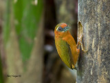 White-browed Piculet - female