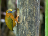 White-browed Piculet - male