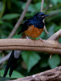 White-rumped Shama - male  - 2010 - all wet