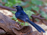 White-rumped Shama - male - 2010 - back view