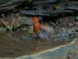 Red-legged Crake - 2011 - splash