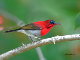 Crimson Sunbird - male - alert - 2011