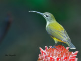 Little Spiderhunter - Sp 332