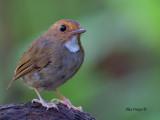 Rufous-browed Flycatcher -- sp 92