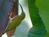 Streaked Spiderhunter - sp 361