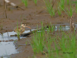 Greater Painted-snipe - female - 2